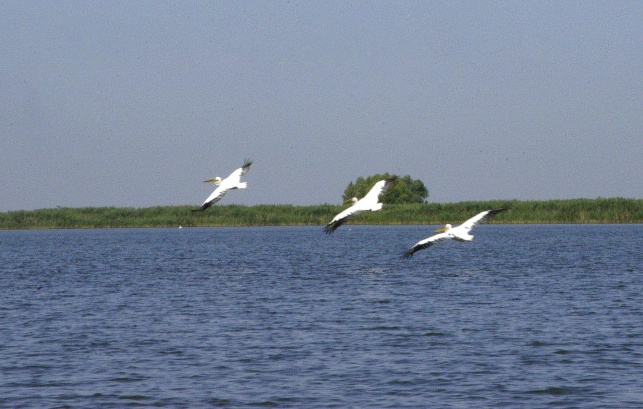 Trei pelicani luandu-si zborul