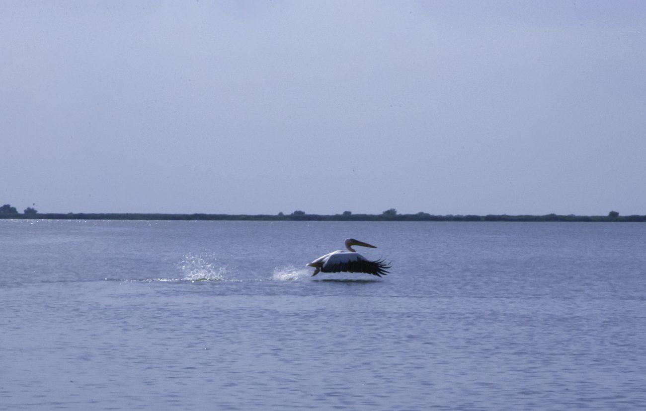 Pelican care isi ia zborul