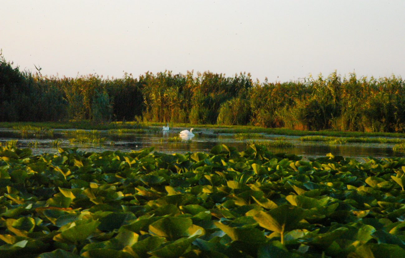 Nuferi galbeni Delta Dunarii