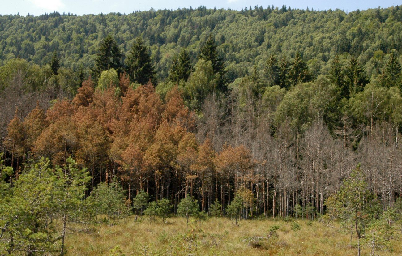 Padure conifere Tinovul Mohosi