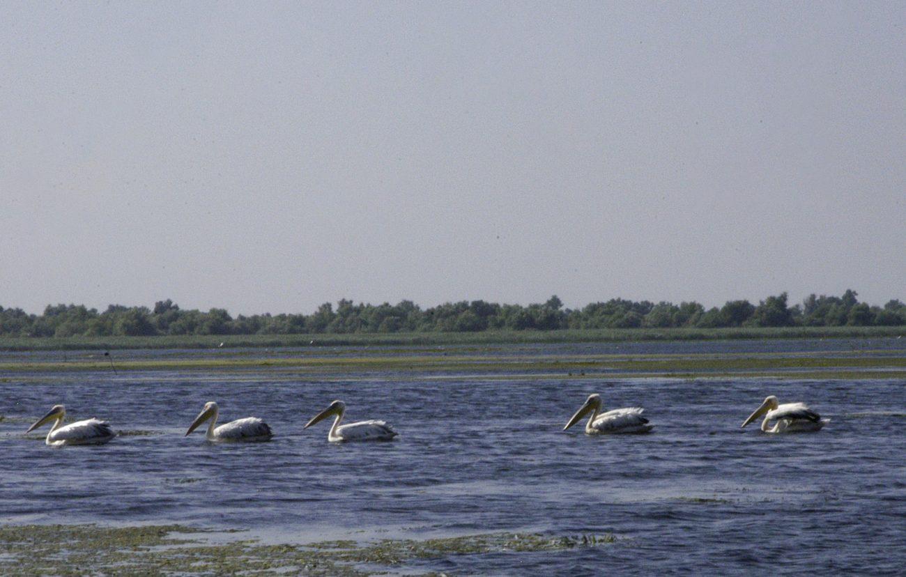 Familie de pelicani