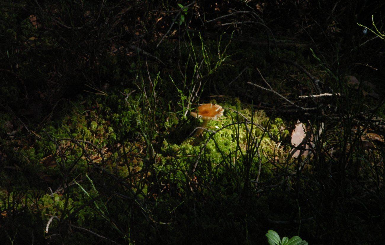 Ciuperca din Tinov