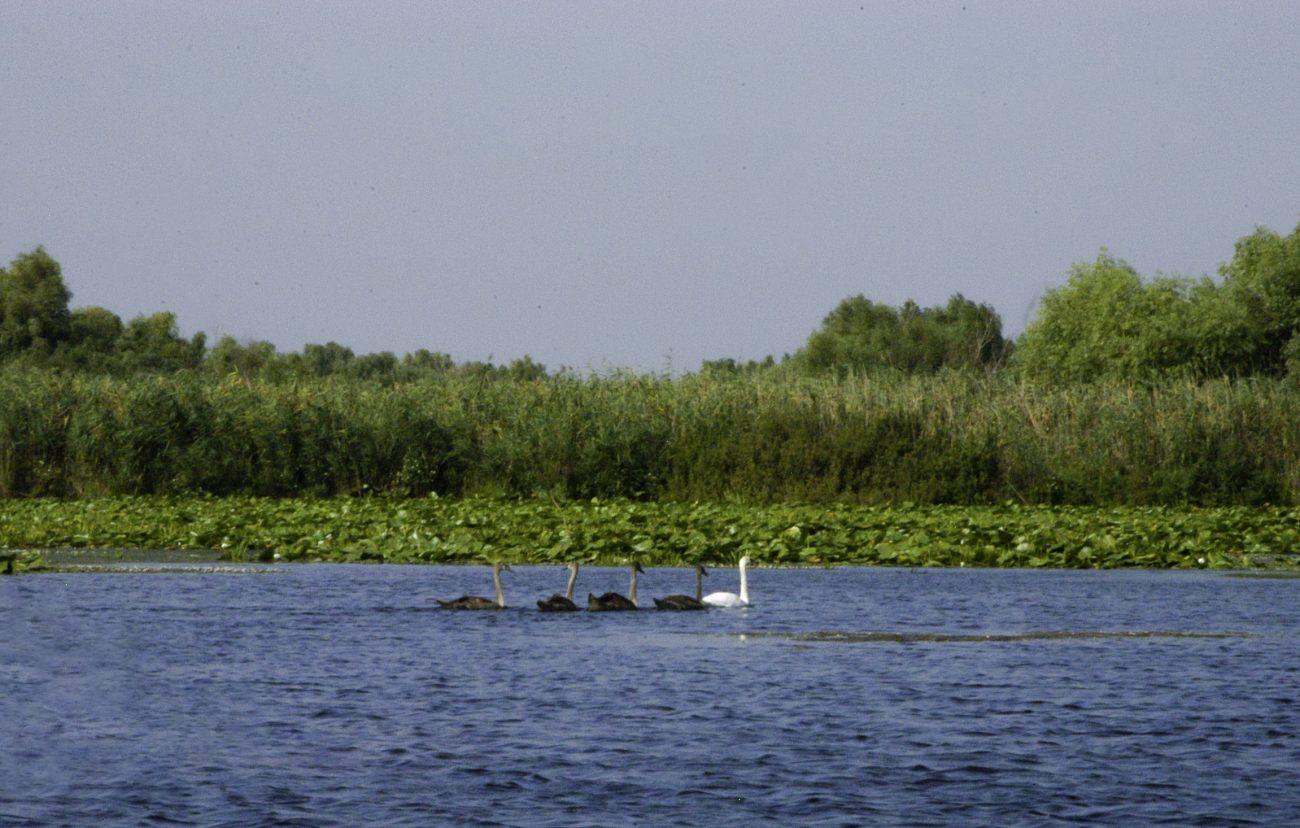 Pui de labada in Delta Dunarii