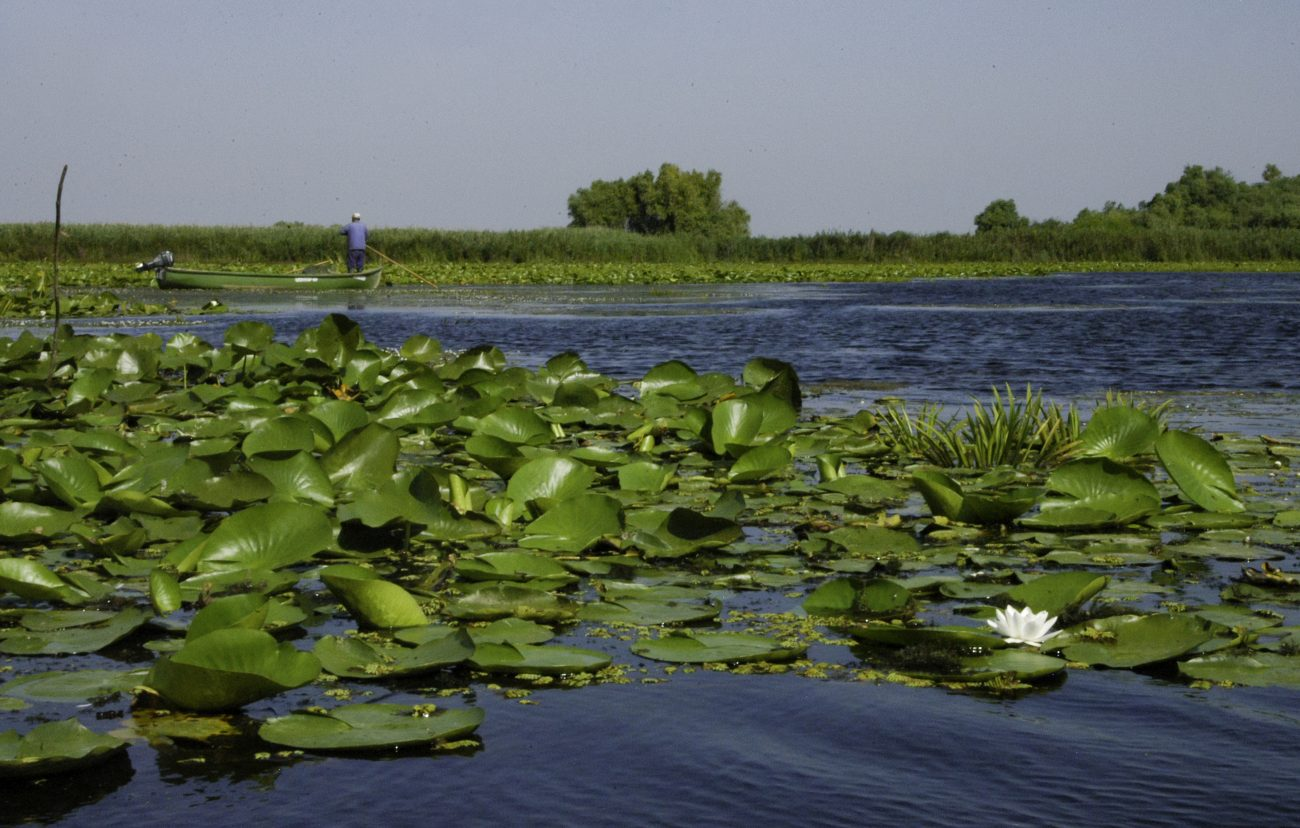 Nuferi din Delta Dunarii