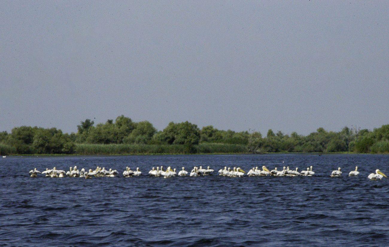 Stoluri de pelicani din Delta Dunarii