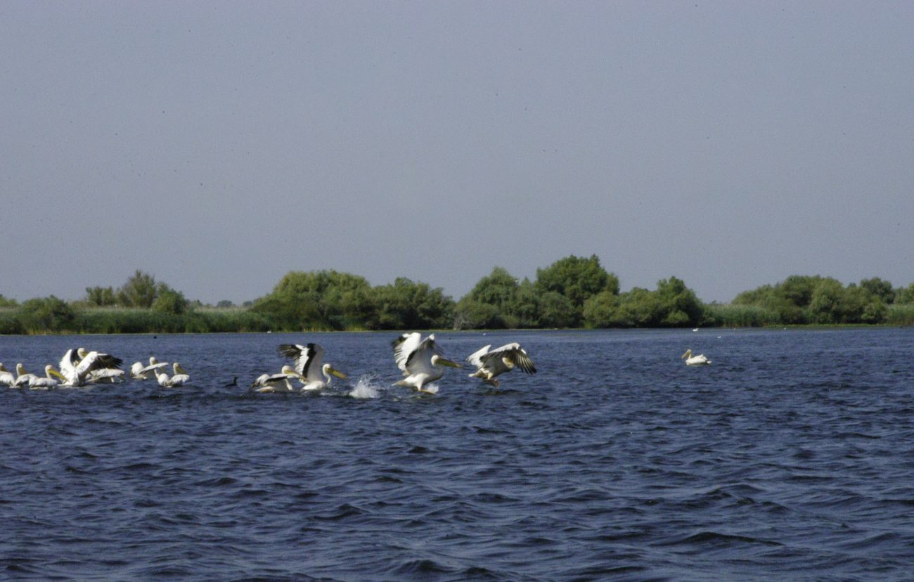 Pelicani luandu-si zborul