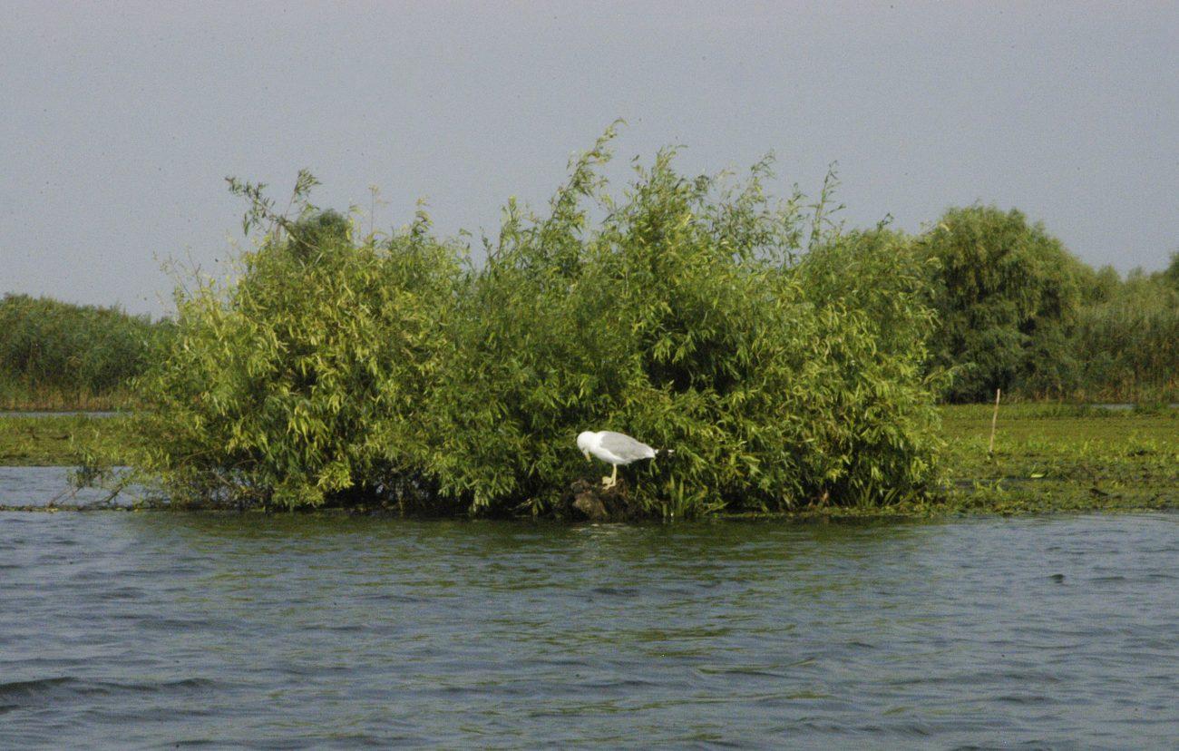 Pescarus razator Delta Dunarii