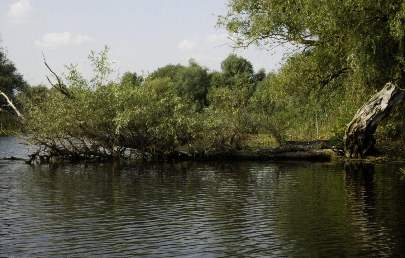 Copac cazut pe canalele Deltei